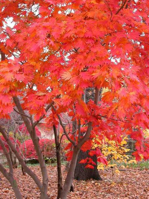 Arce Japones Acer Japonicum Aconitifolium Cuidados