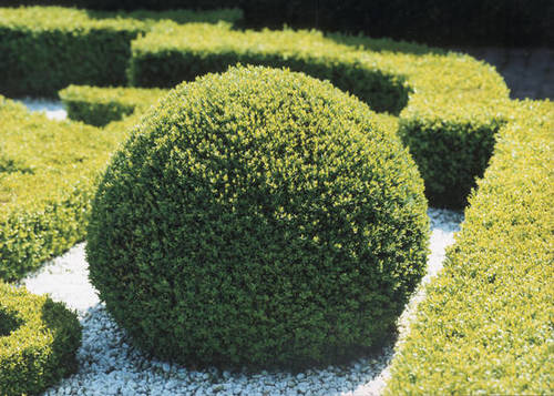 El boj com n usos y cuidados verde jard n for Arbustos de jardin fotos