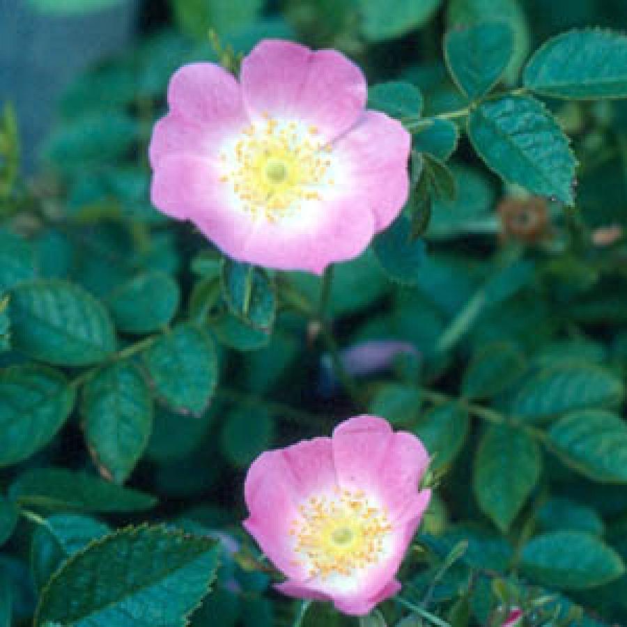 Rosa Mosqueta Cuidados,Usos y Aplicaciones Medicinales