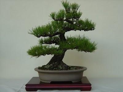 Bons i kuromatsu pino negro japones cuidados verde jard n - Cuidado del bonsai ...