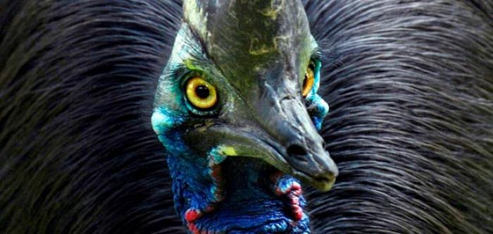 El Casuario, el ave más peligrosa del mundo