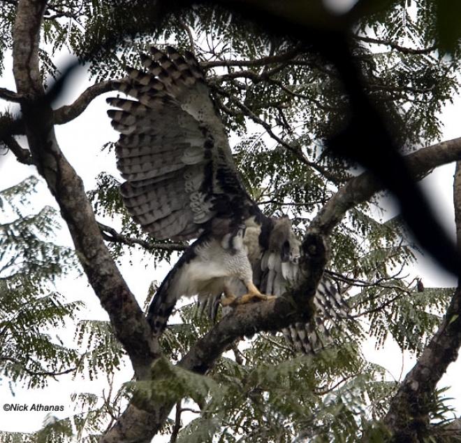 El Águila Arpía. Curiosidades e imágenes.